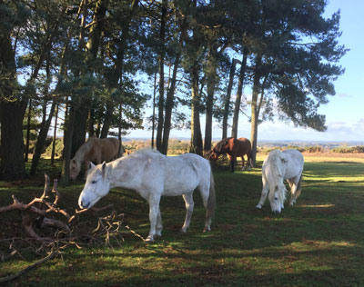 New Forest Ponies in woods